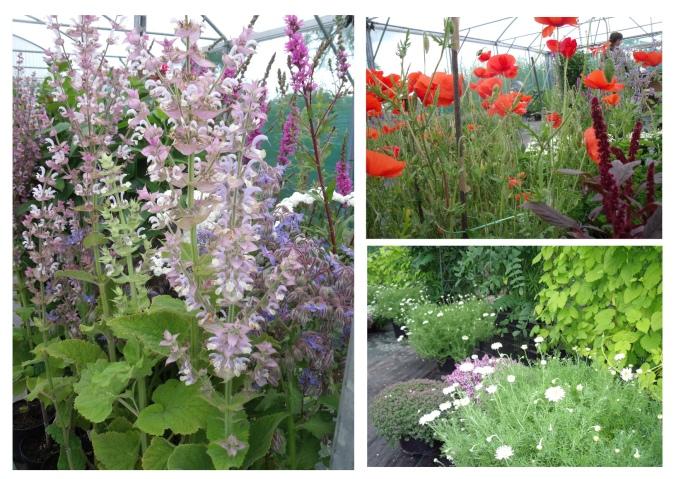 Clary Sage, Borage, Purple Loosestrife, Field Poppies, Hops, Chamomile