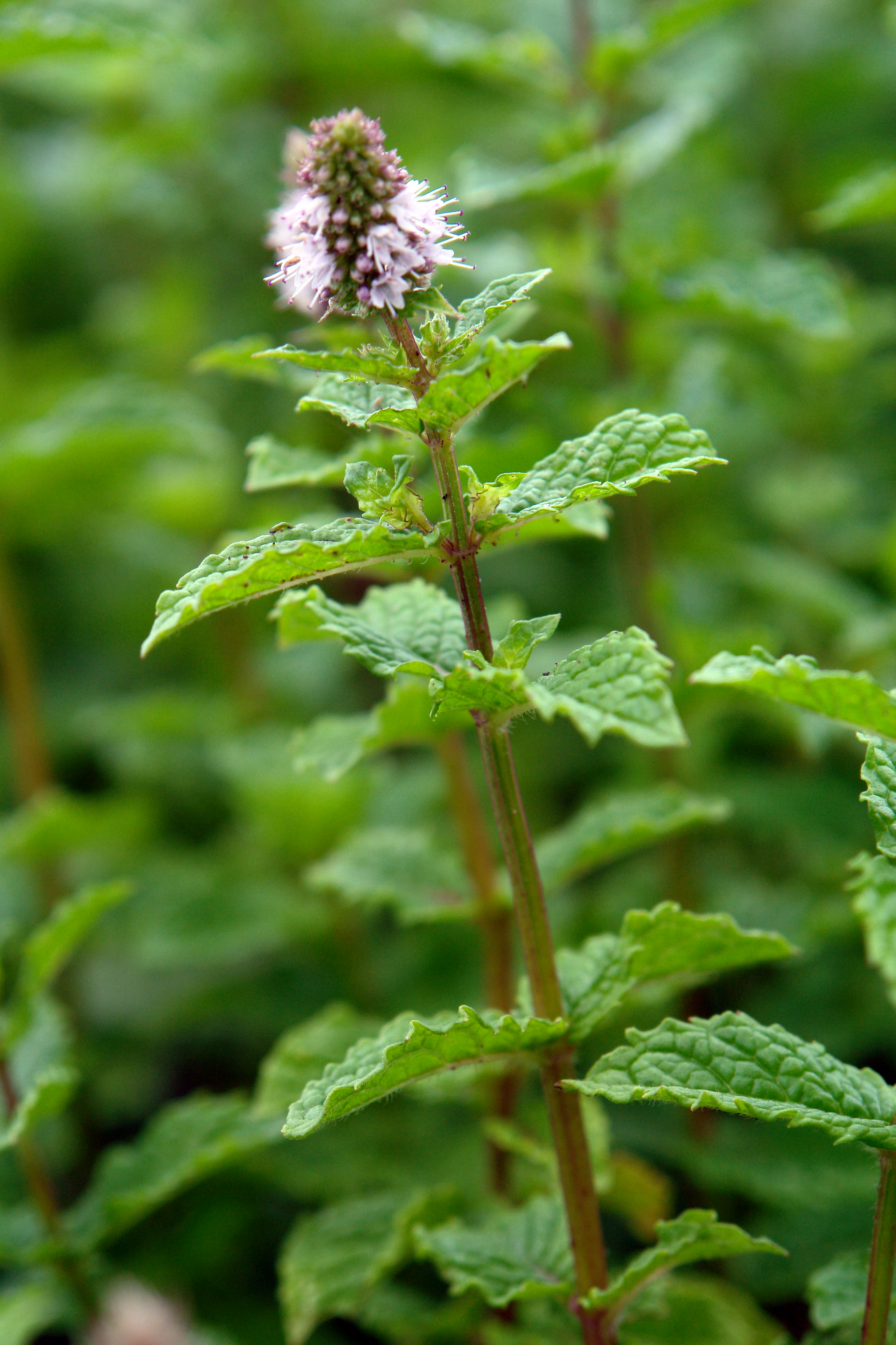 Magical Mint, in the kitchen or as a herb tea. | Jekka's ...