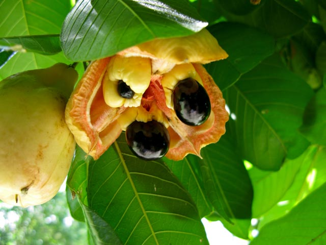 The Akee tree was brought to the Caribbean in the 18th Century. The aril is the only edible and only when the plant has turned red and split open, when unripe or overripe it is poisonous!!!