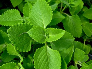 Broad leaf thyme, Cuban Oregano, Basil, are many of the common names used to identify this herb