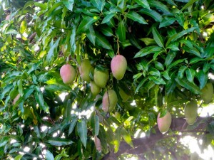 The Mango. The fruit is well known, the leaves produce a yellow dye and the bark of the tree provides a tannin