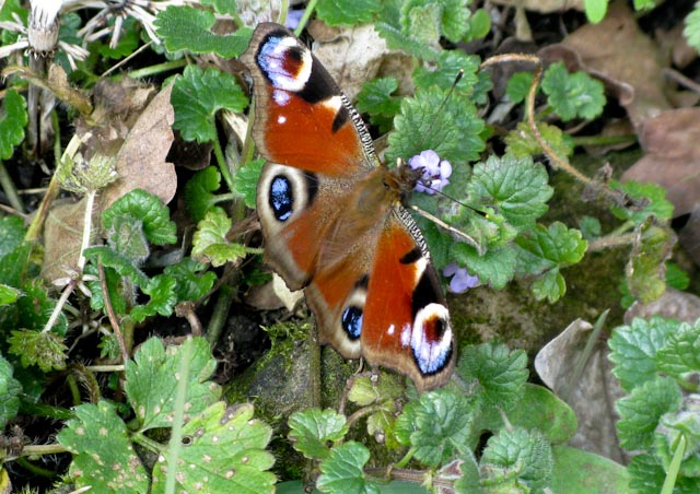 A Peacock Butterfly supping nectar from Ground Ivy.