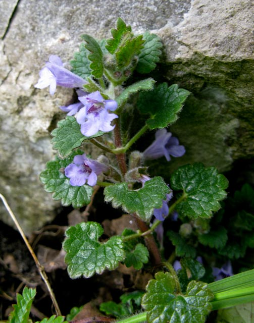 Ground Ivy, Glechoma hederacea