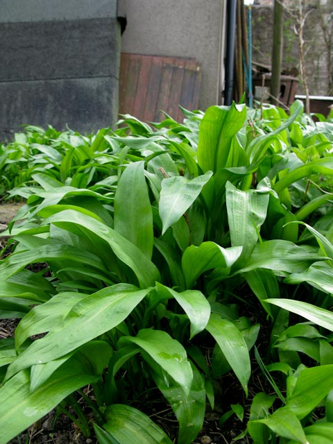 Wild Garlic, Ramsoms, Allium ursinum L.