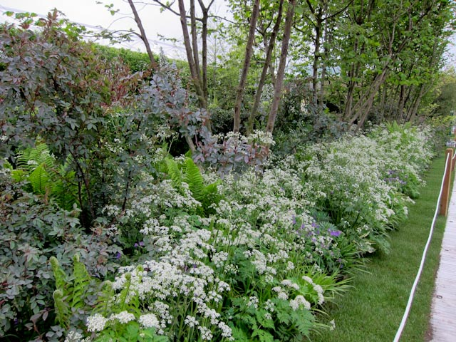 The Arthritis Research UK garden with Sweet Cicely . Myrrhis odorata