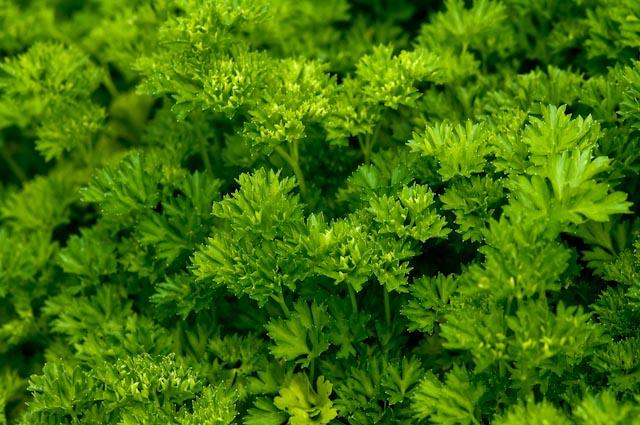 PP25 Petroselinum crispum-2