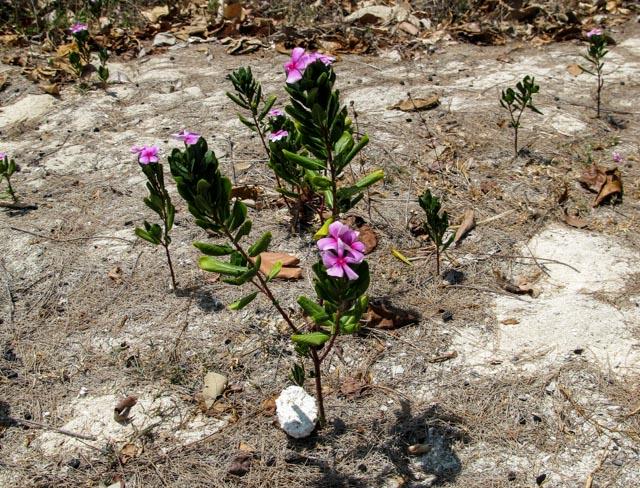 Catharanthus roseus, Madagascar Periwinkle growing wild