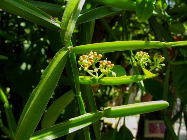 Cissus quadrangularis, Edible Vine